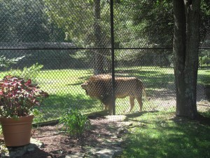 Cape May Zoo Lion